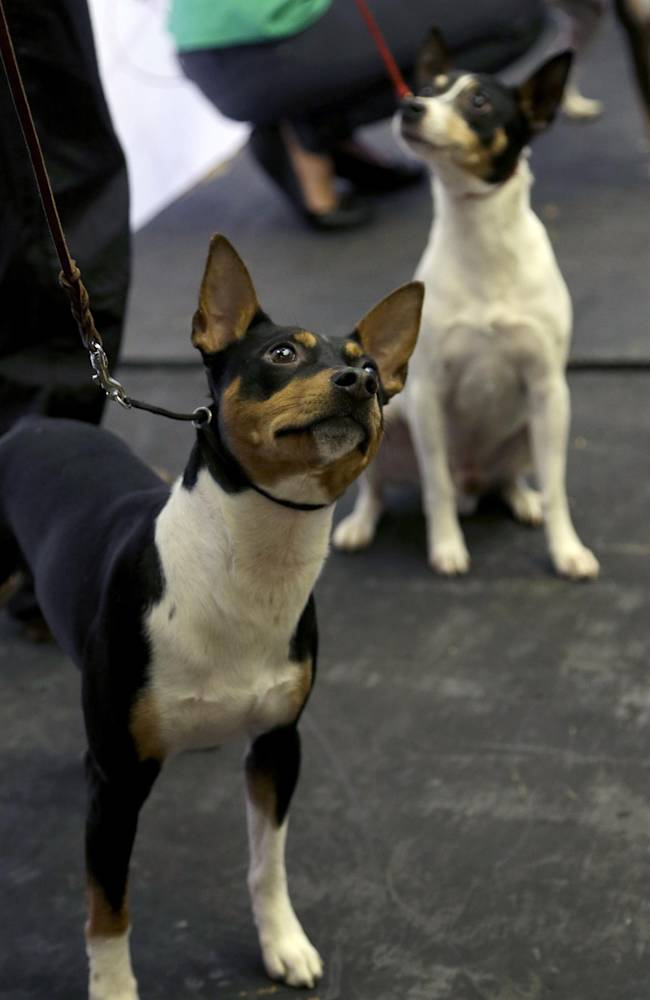 A rat terrier is introduced during a news conference in New York, Wednesday, Jan. 15, 2014. The rat terrier is one of three new breeds that will be competing at the 138th Westminster Dog Show starting Feb. 10, 2014