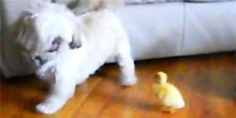 Adorable duckling chases after pooch (Y! Screen)