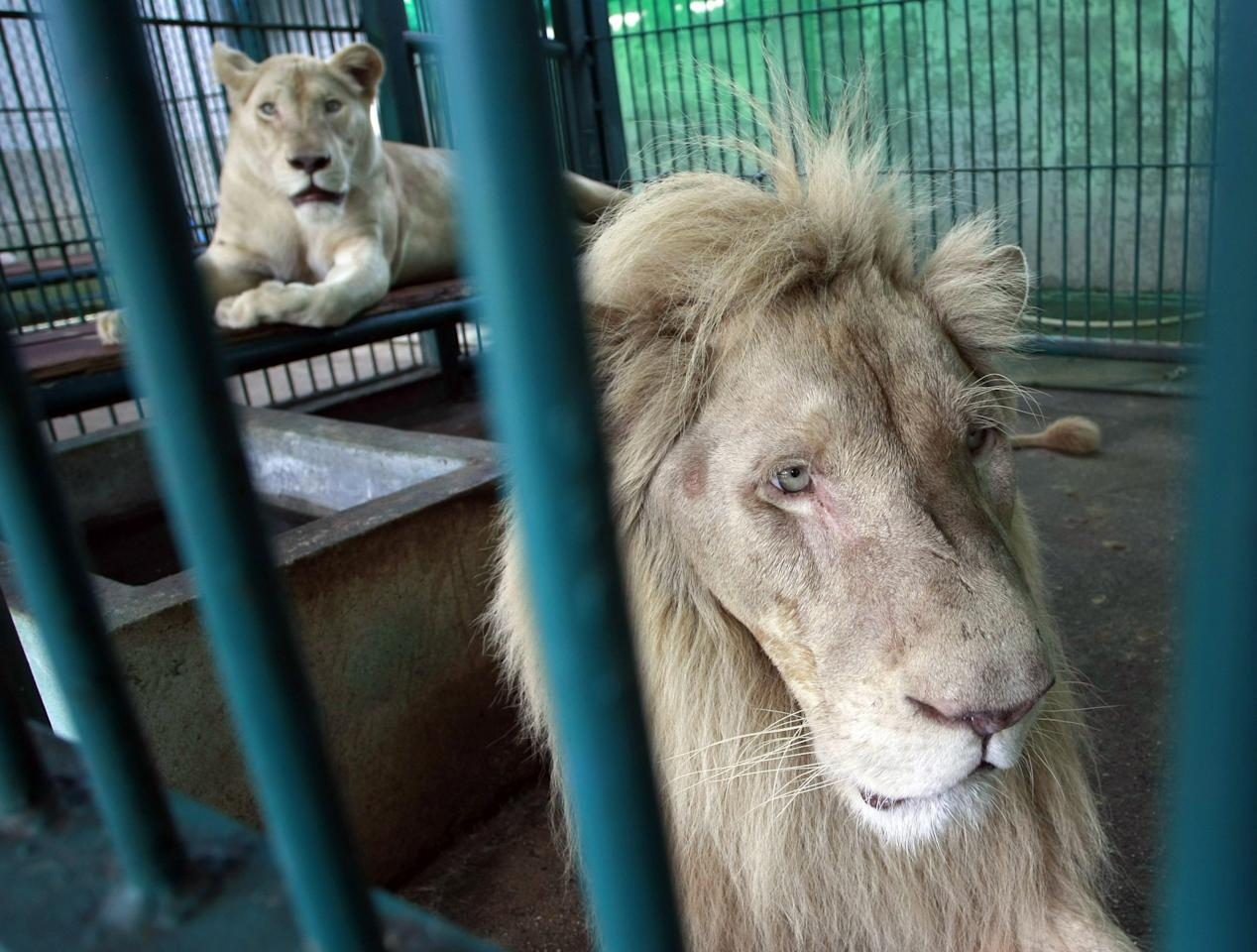 Lions rest inside an enclosure after a raid at a zoo-like house on the outskirts of Bangkok, Thailand Monday, June 10, 2013. Thai police and forestry officials searched and seized a number of imported and endangered animals including 14 lions from Africa and arrested the house's owner. (AP Photo/Apichart Weerawong)