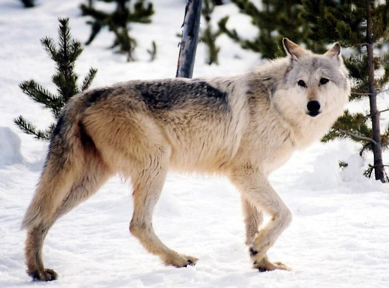 Western environmentalists oppose wolf delisting