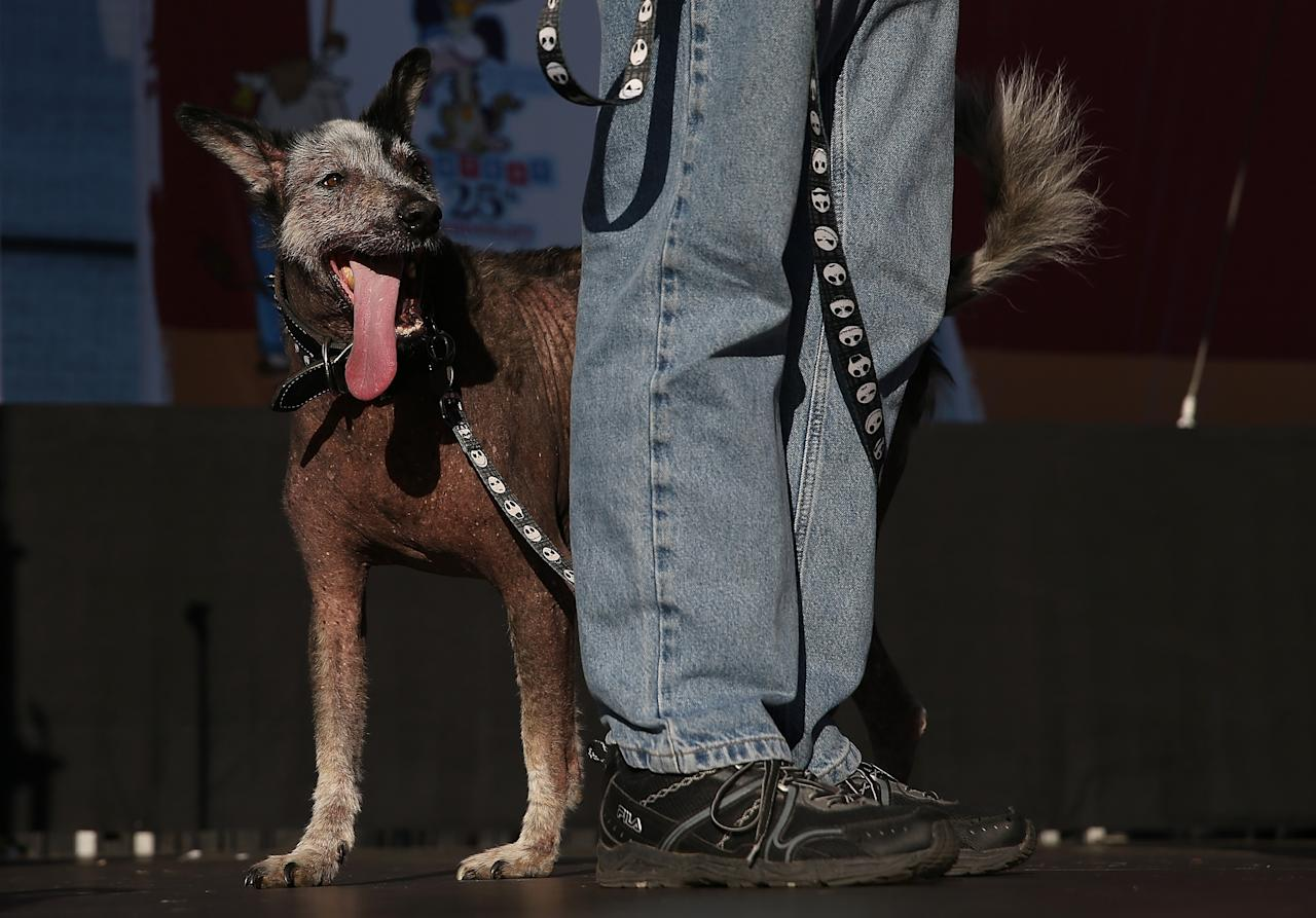 PETALUMA, CA - JUNE 21: Reggie , a Peruvian mix, walks on stage during the 25th annual World's Ugliest Dog contest at the Sonoma Marin Fair on June 21, 2013 in Petaluma, California. Walle, a basset and beagle mix won the honor of being the world's ugliest dog. (Photo by Justin Sullivan/Getty Images)