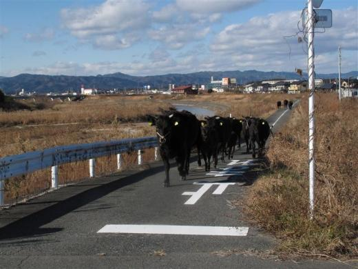 A cows which are escaped from a farm across the street in Namie town, where is inside the exclusion zone of a 20km radius around the crippled Fukushima Daiichi nuclear power plant, December 25, 2011, in this handout photo relased by UKC Japan. A 9.0-magnitude earthquake and massive tsunami on March 11 triggered the world's worst nuclear accident in 25 years and forced residents around the Fukushima Daiichi nuclear power plant to flee, with many of them having to leave behind their pets.