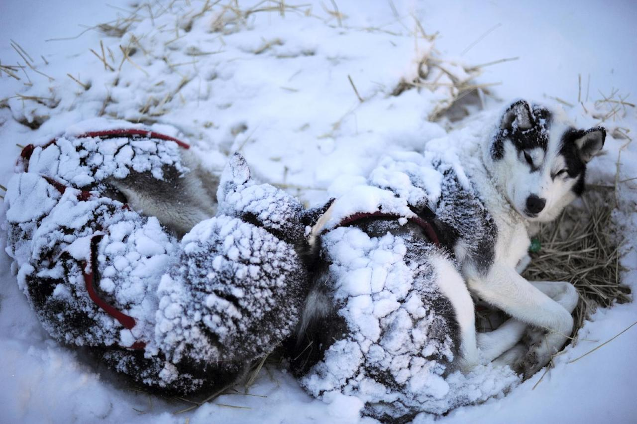 FILE - Wolvie and Roscoe stir as Karen Ramstead prepares to feed them in Nikolai, Alaska, during the Iditarod Trail Sled Dog Race on Wednesday, March 7, 2012 .(AP Photo/Anchorage Daily News, Marc Lester, File)