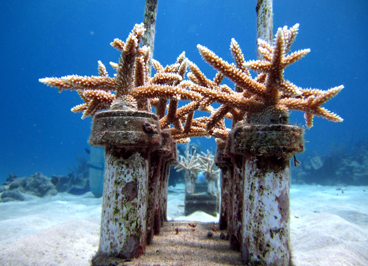 In this April 13, 2012 photo released by The Nature Conservancy, coral grows in a coral reef nursery as part of a Caribbean coral reef restoration program off Cane Bay, St. Croix, U.S. Virgin Islands. Across the globe, reefs that have proven resilient for thousands of years are in serious decline, degraded by over fishing, pollution, coastal development and warming ocean waters. And threats to coral are only expected to intensify as a result of climate change and ocean acidification due to greenhouse gases. (AP Photo/The Nature Conservancy, Kemit-Amon Lewis)