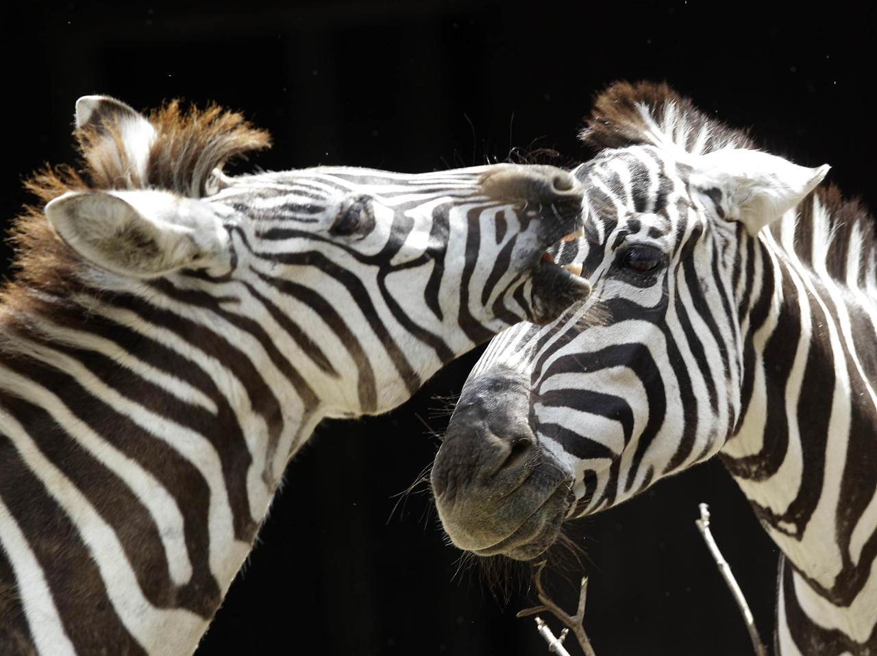 Zebras  stand in their enclosure  at the Zoo in Wuppertal, Germany, Thursday, July 12, 2012.(AP Photo/Frank Augstein)