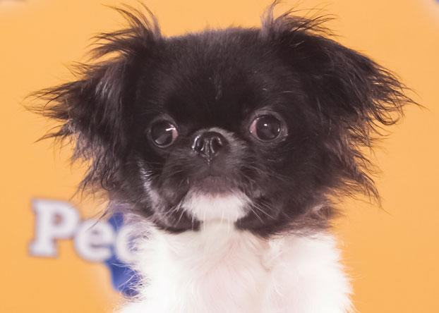 """Simba, an 8-week-old Japanese chin, is """"very playful and confident with other dogs."""" (Photo by Keith Barraclough/DCL)"""