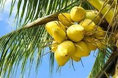 Coconuts in danger as trees grow old