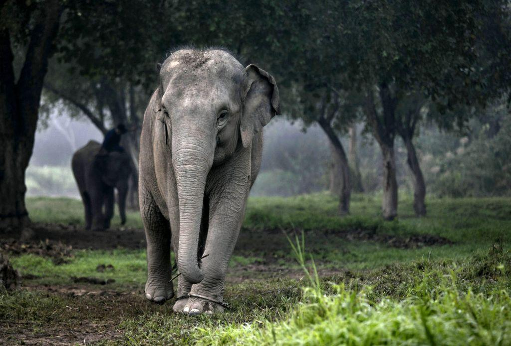 A Thai elephant walks in the jungle in the early morning fog at an elephant camp at the Anantara Golden Triangle resort in Golden Triangle, northern Thailand.