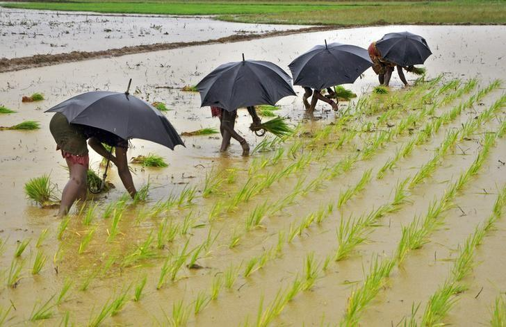 Labourers plant saplings in a paddy field on the outskirts of Bhubaneswar