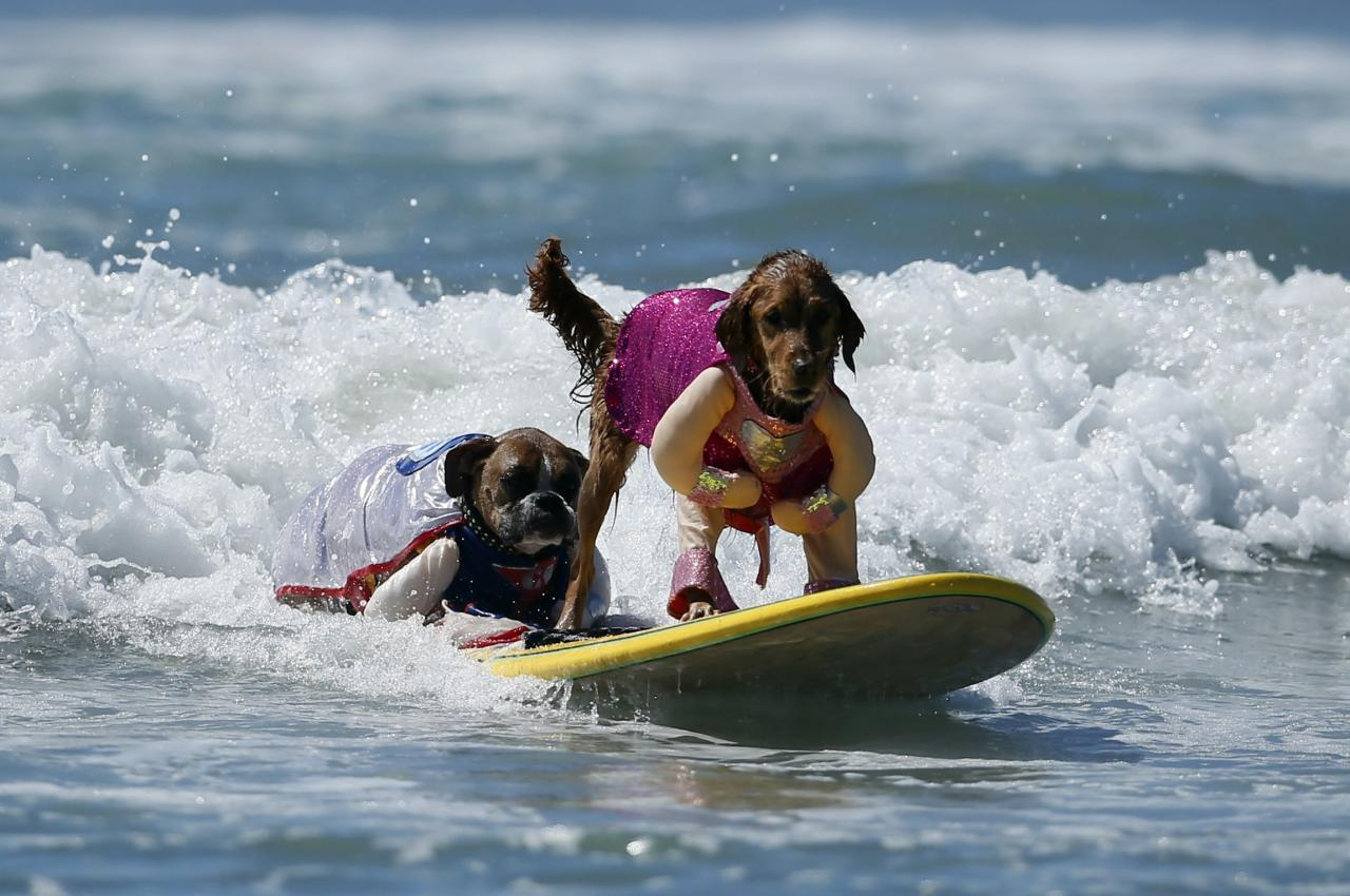 Two dogs in costume share a board during the Surf City surf dog competition in Huntington Beach, California, September 29, 2013. REUTERS/Lucy Nicholson (UNITED STATES - Tags: SPORT ANIMALS SOCIETY)