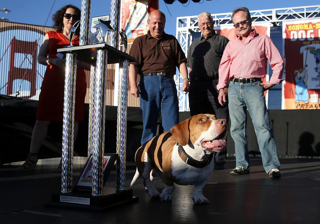 PETALUMA, CA - JUNE 21: Walle, a basset beagle mix, walks on stage after being crowned the winner of the 25th annual World's Ugliest Dog contest at the Sonoma Marin Fair on June 21, 2013 in Petaluma, California. Walle, a basset and beagle mix won the honor of being the world's ugliest dog. (Photo by Justin Sullivan/Getty Images)