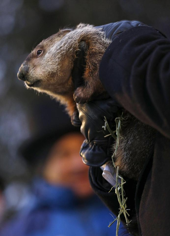 Groundhog Club Co-handler John Griffiths holds the weather predicting groundhog, Punxsutawney Phil, after he was taken from the stump before the club said Phil did not see his shadow and there will be an early spring on Groundhog Day, Saturday, Feb. 2, 2013 in Punxsutawney, Pa. (AP Photo/Keith Srakocic)