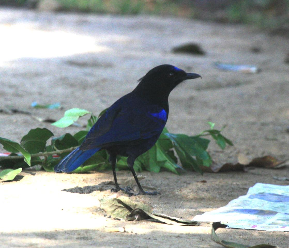 """<b>Malabar Whistling Thrush:</b> Famous for its startling human-like whistle, this bird is crow-like in size and gait. In the shade, even the plumage appears black until sunlight removes the deception and reveals the gleam of metallic blue. This bird wakes you up to its """"idle schoolboy"""" tunes."""
