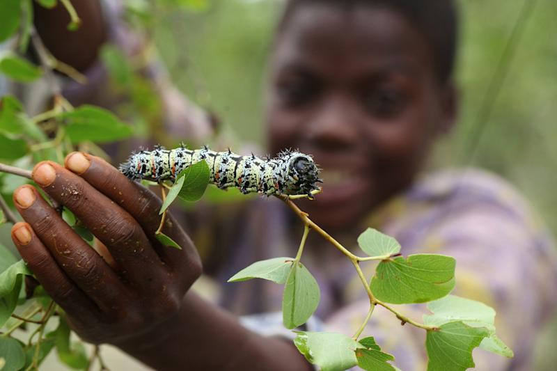 Worms: A Zimbabwe snack, from tree to dinner table