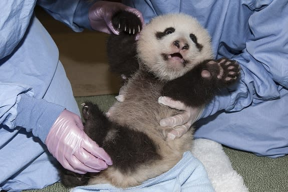 The panda cub's furry belly was on full display this morning as the rambunctious boy was examined during his 11th veterinary exam.