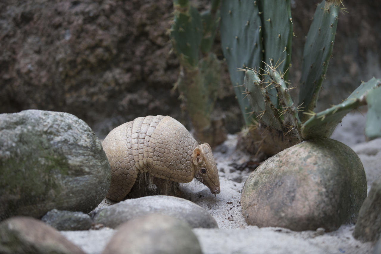 An armadillo named Ana Botafogo in honor of the Brazilian dancer stands in the Rio Zoo in Rio de Janeiro, Brazil, Wednesday, May 21, 2014. A Brazilian environmental group has launched an effort to save the endangered three-banded armadillo, the mascot for the World Cup that starts next month. The armadillo is in danger of extinction, largely because of deforestation and hunting in its habitat in the shrub lands of northeastern Brazil, according to the Caatinga Association. (AP Photo/Silvia Izquierdo)
