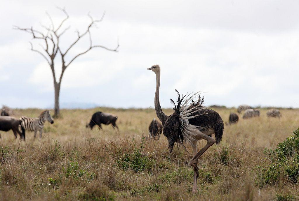 An Ostrich stretches its wings in the Masai Mara Game Reserve, Kenya.