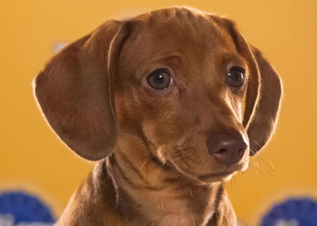 "Harry, a 12-week-old chocolate dachshund, is described as a ""lovable little terror."" (Photo by Keith Barraclough/DCL)"