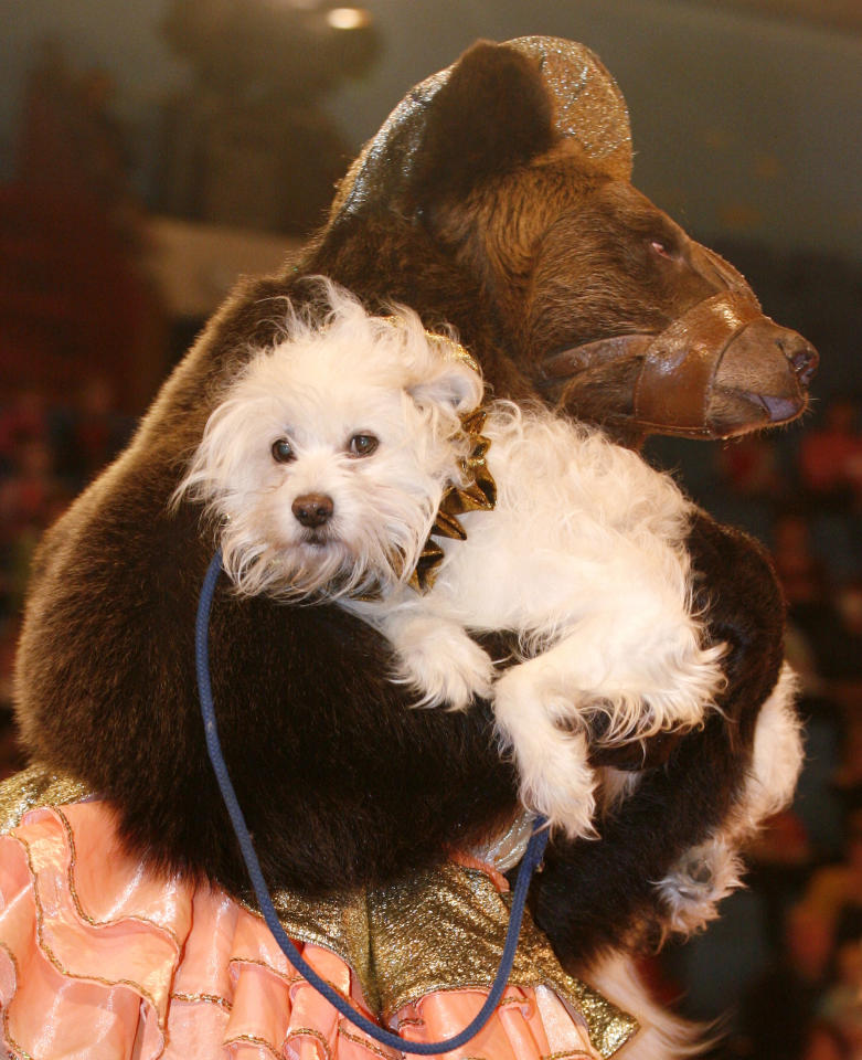 A brown bear carries a dog during a show in a circus in the Siberian city of Krasnoyarsk