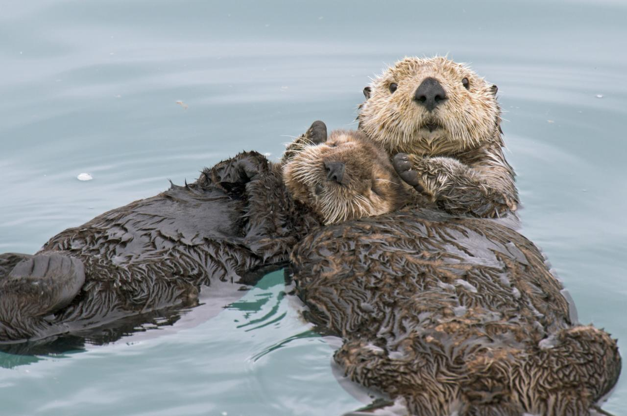 ** MANDATORY BYLINE ** PIC BY TOM AND PAT LEESON / ARDEA / CATERS NEWS - (Pictured a Sea Otter resting on another) - From a loving look to an affectionate nuzzle, these are the charming images of cute creatures cosying up for Valentines Day. And as the heart-warming pictures show the animal kingdom can be just as romantic as us humans when it comes to celebrating the big day. SEE CATERS COPY.