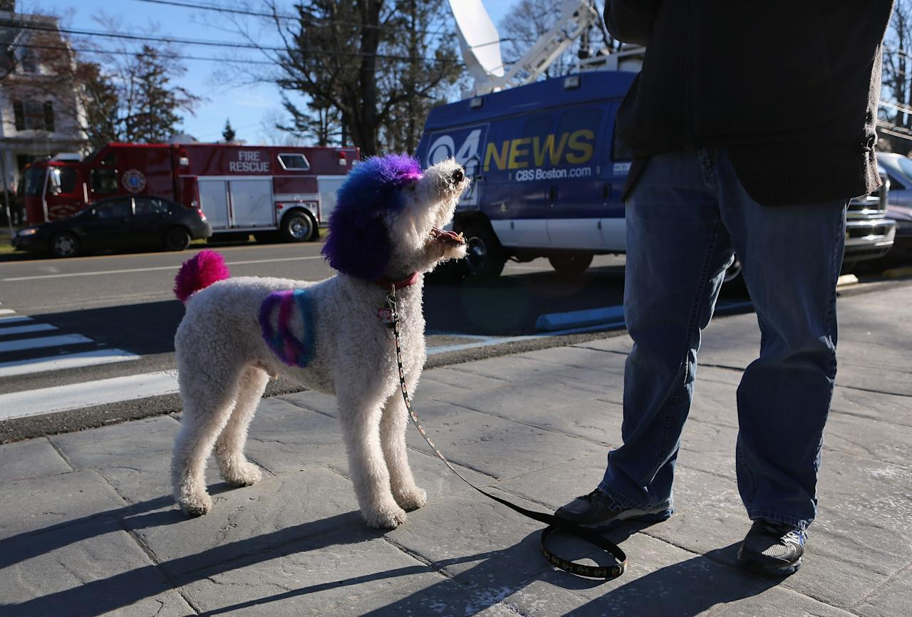 NEWTOWN, CT - DECEMBER 20:  Therapy dog Chilly Pasternak from Richmond, Virginia waits for a treat from his owner Jake Pasternak on December 20, 2012 in Newtown, Connecticut. Therapy dogs have been brought in from around the country to provide comfort to Newtown residents following last Friday's massacre at Sandy Hook Elementary School. Six wakes and funeral services were held Thursday in the Newtown area for students and teachers who died in the tradegy.  (Photo by John Moore/Getty Images)