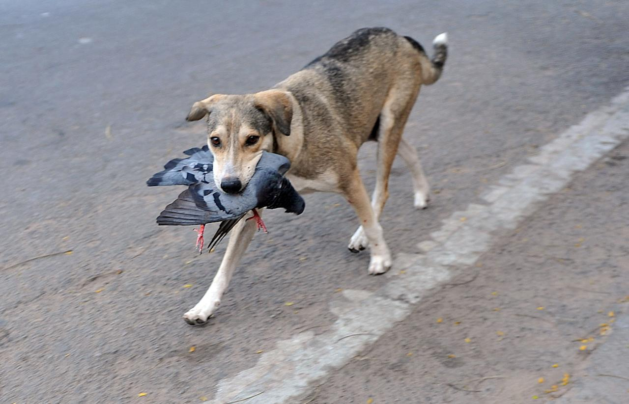 An Indian street dog carries a pigeon on the road in Hyderabad on November 26, 2012. Stray dogs are a common sight throughout India, feared by many because of the prevalence of rabies and viewed as a pest for their nocturnal barking. AFP PHOTO / Noah SEELAM