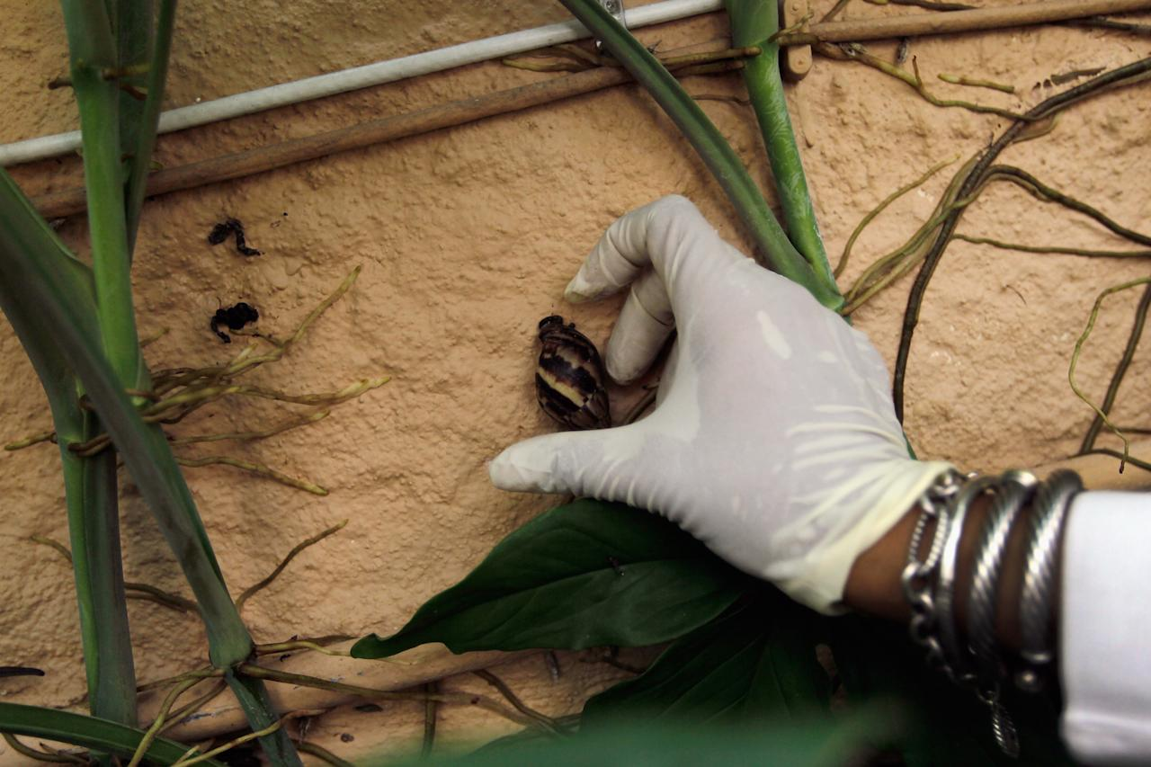 MIAMI, FL - SEPTEMBER 15:  Olga Garcia, Environmental Specialist Florida Department of Agriculture, grabs a Giant African land snail from the side of a house as she works on eradicating a population of the invasive species in Miami-Dade County on September 15, 2011 in Miami, Florida. The Giant African land snail is one of the most damaging snails in the world because they consume at least 500 different types of plants, can cause structural damage to plaster and stucco, and can carry a parasitic nematode that can lead to meningitis in humans.  The snail is one of the largest land snails in the world, growing up to eight inches in length and more than four inches in diameter.  (Photo by Joe Raedle/Getty Images)
