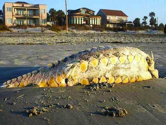 Atlantic Sturgeon found in South Carolina