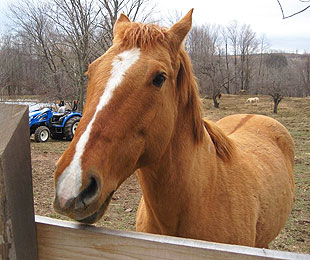Strawberry is the horse that bonded with one victim and helped launch Marley's Mission. (Special to Y! Sports)
