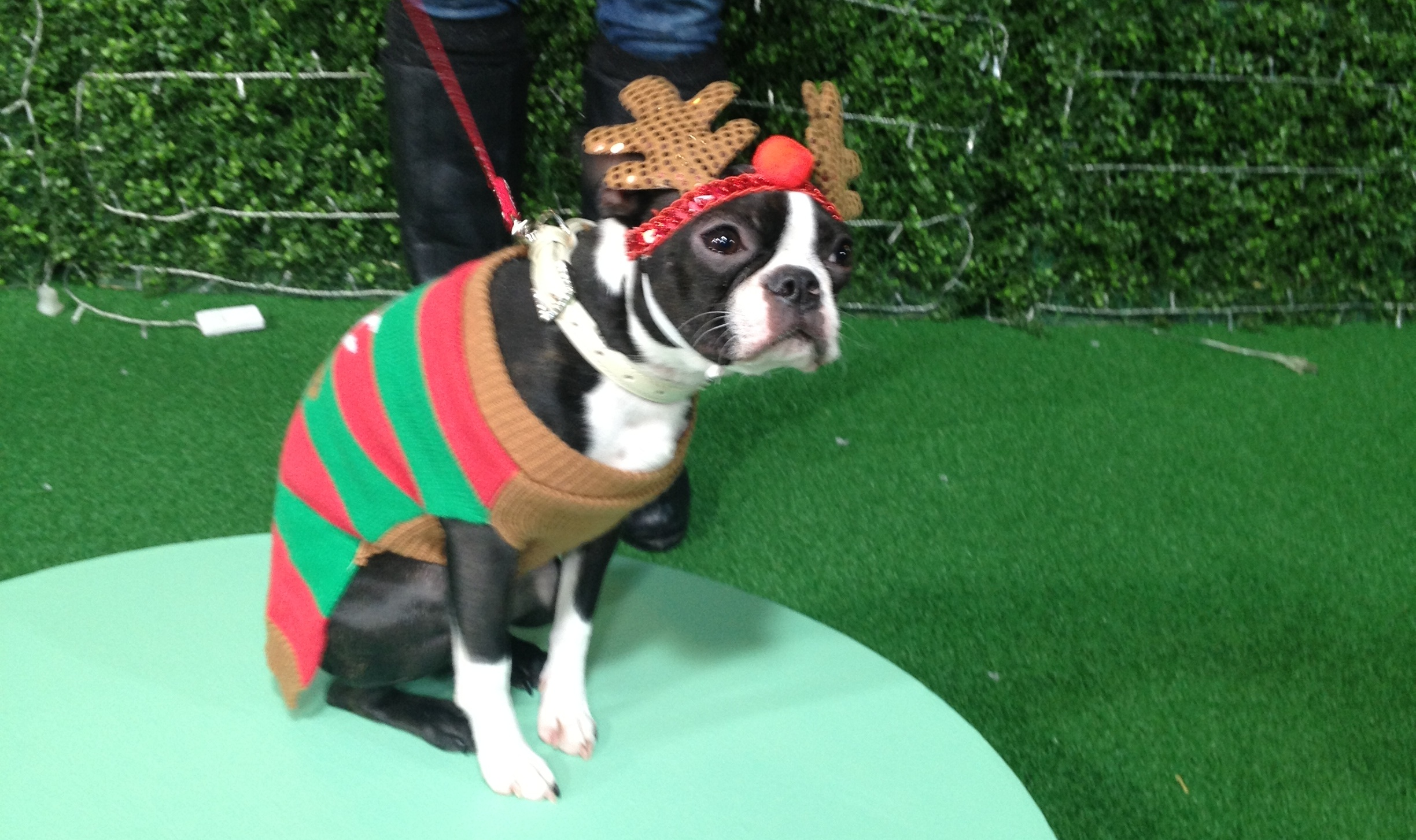 "Maxxie,""Rudolph the Red Nosed Boston Terrier"""
