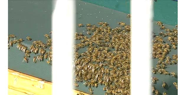 Bees swarm visitor's dugout at Kauffman Stadium