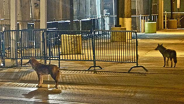 Coyotes spotted near Wrigley Field gates