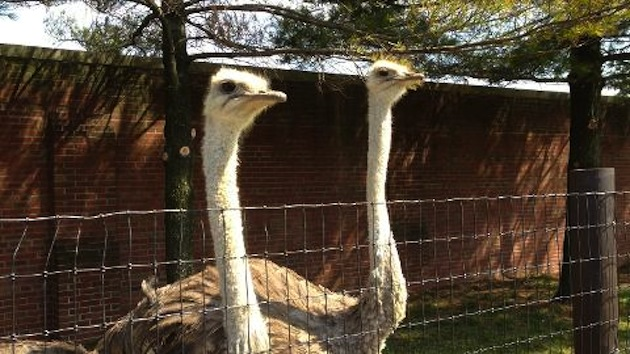 Real, live ostriches joining the Philadelphia Phillies' Double-…
