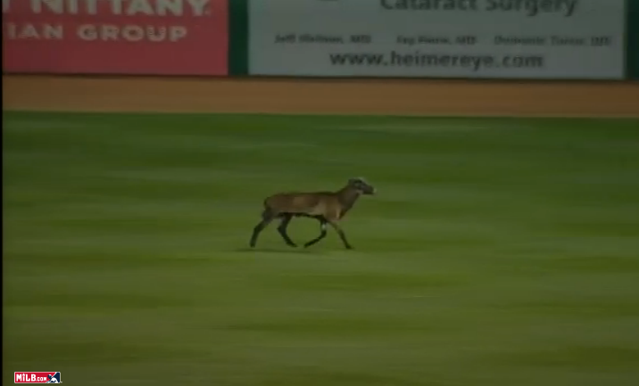 Goat on the field at the State College Spikes game.