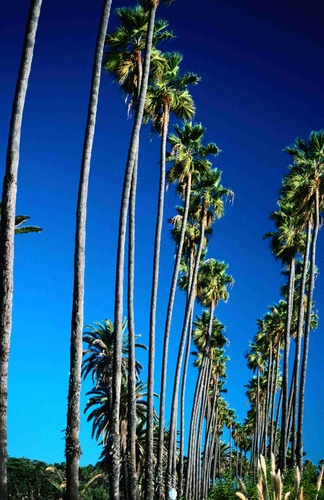 Row of Palm Trees - Santa Monica, Los Angeles, California