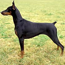 warlock doberman pinscher - group picture, image by tag ...