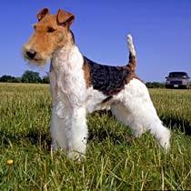 http://l.yimg.com/us.yimg.com/i/us/pets/brgd/fox-terrier-wire.jpg