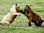 Bengal tiger cubs play at the zoo in Guadalajara, Mexico, Thursday, July 5, 2007. (AP)