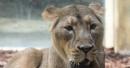 Pánico en Alemania: se fugan dos leones, dos tigres y un jaguar de un zoológico