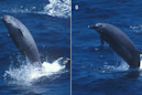 Elusive whale caught on video for the first time