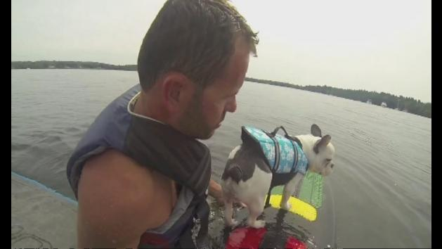 Meet Enzo the wakesurfing French Bulldog