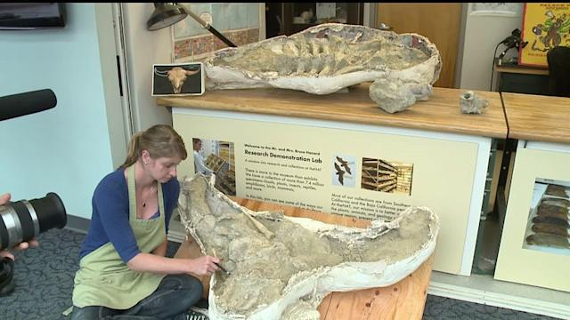 Ice Age Bison Fossil Found In San Diego