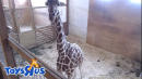 Pregnant Giraffe Keeps Anxious Viewers Waiting