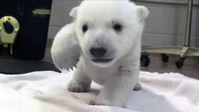 Polar bear takes first steps at Toronto Zoo