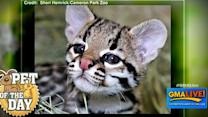 Meet Aztec the Baby Ocelot