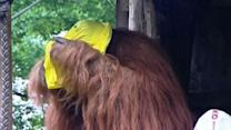 Raw: Orangutan Predicts German Soccer Winner