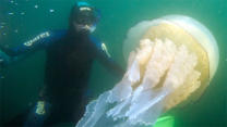 Diver Swims With Huge Jellyfish