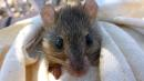Australian Rat Declared Extinct Due To Man-Made Climate Change