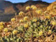 Nevada reviews possible mining threat to unique wildflower