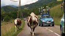 Cows cause wreck at Tour de France tune-up